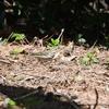 【野鳥】今年度の冬鳥最終編かな@葛西臨海公園