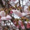 早咲きの桜(荒川神社)