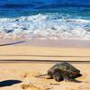 幸運のシンボル「ウミガメニ」会えるラニアケア・ビーチ