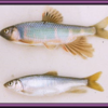 オイカワの飼育法(餌・最大サイズ・水槽・生態・値段・混泳など)