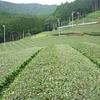 再び黄緑色の茶畑に… 8月上旬の生長状況