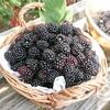 ブラックベリー酵素ジュースを作りませんか@新潟EMBC複合発酵バイオで栽培する健康農産物