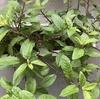 家庭菜園にオススメの水前寺菜(ハンダマ)。ほったらかしでもどんどん伸びます。
