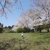 桜の咲き始めって、いつだったんだろう?山の公園4月4日を振り返り☆(裾野市)