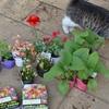 午後の庭仕事とチョモ