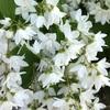 ヒメウツギ、ツリガネズイセン、そしてミントブッシュの花