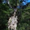 天寿を全うできなかった巨樹もある.  屋久島で最も知られた巨大な切り株:ウィルソン株.登山道の脇には,人の手によって切られた大きな切り株が目につく.縄文杉は,傷だらけの老木だった.伐採された切り株.その奥に,生き残った縄文杉が立っていた.     「だから,当時の,江戸時代の人たちの価値観からすれば,最大の落ちこぼれであり,それが幸いしてヒーローになった木です」縄文杉の姿には,人間の想像を超えた巨樹の生き様が刻まれていた.