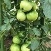 トマト成育