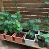 ブドウ挿し木苗の成長