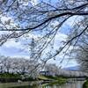 ここ数日見た桜