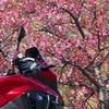 プチプチツーで河津桜とミモザ 春はもうすぐ(*´ω`*)