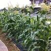 トウモロコシの明と暗。やはり早めの農薬散布が最も効果的なのではないかと。それも大量に