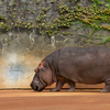 カバ Hippopotamus amphibius