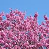 緋桜満開の本牧山頂公園をお散歩