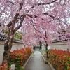 【番外編】 桜のトンネルを歩きたい