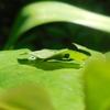 ダイミョウセセリの幼虫 大きくなりました