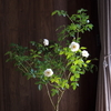 白い花はすきですか?