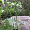 9/21 夏オクラ植えてみました。 41日目