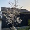 大島桜7分咲き