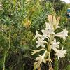 南仏のチュベローズ・polianthes tuberosa L./渡欧9日目ー2