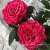 "【庭】Rosa.min "" Kori """