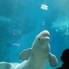 【名古屋】名古屋港水族館に行ってきた!今回は、ベルーガがメイン。