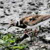 谷津干潟のキョウジョシギ