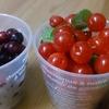 「鮮やかな赤い実にクエン酸たっぷり!」ユスラウメでジャムを作ってみた