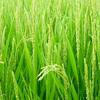 稲の穂が出て開花