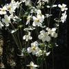 秋明菊の花 2015 10月