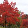 神戸)しあわせの村。紅葉。シジュウカラ、ジョウビタキ、ハクセキレイ。