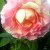 roses @ Monet's Garden