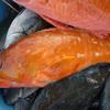 五島で釣りをした親たちから海の幸をおすそ分け!最高にうまい刺身とフライを味わったのだ!