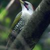 緑啄木鳥(アオゲラ)♀