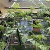 【家庭菜園】今日のゴーヤ(2017年06月19日)  緑のカーテン造成中