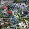 「まつこの庭」のチューリップ(1)