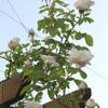 バーゴラのバラ開花 ~その2~
