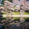 フィルムで撮る愛媛の桜