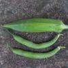 【家庭菜園】今日の収穫(つるなしインゲン3回目、オクラ4回目)