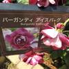 バーガンディアイスバーグ 京成バラ園 2016/05/16