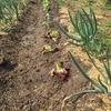 春になりましてレタスとブロッコリーを植えました。