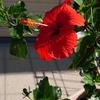 ハイビスカス3つ目の花