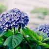 京都・御池通りの青いあじさい