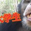 大学生はチンパンジー