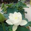 韓国で蓮の花を見に行こう!