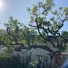 実家のホルトの木を透かす