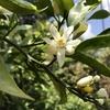 唐津でネロリ(ミカン)花摘み体験に参加してきました。