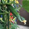ベランダ家庭菜園の秋採れきゅうりが大きく実ってきた!