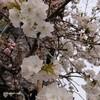 別れと出会いの桜の季節!新生活スタート!二男が関東へ😆桜の見えるカフェ