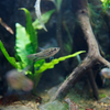 クローキンググラミー Trichopsis vittata
